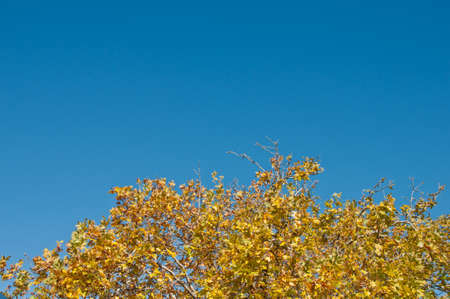 Yellow maple foliage in early Autumn with blue sky in Blue Mountain at Sydney Australia Stock Photo