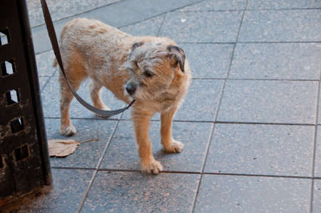 Young domestic brown dog turns right while standing on the street Stock Photo