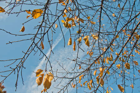 Golden yellow foliage dried leaves in late Autumn with blue sky cloudy sunny day 写真素材 - 150227374