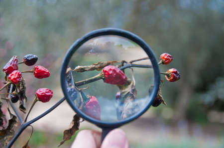 A hand holding a magnifier to zoom red chilli fruit 写真素材
