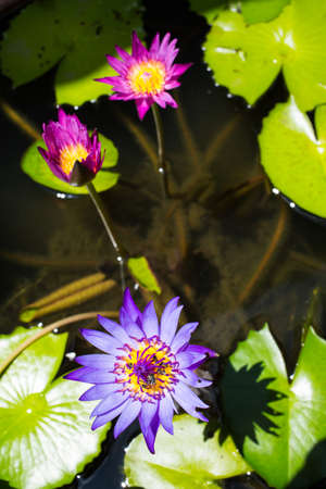 Five bees with purple lotus flower in the pool Stock Photo
