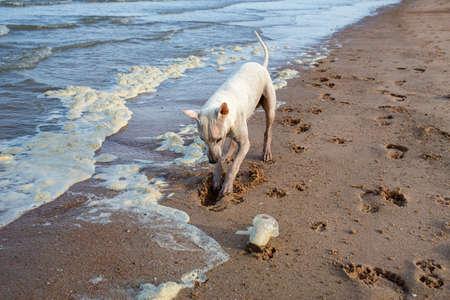 Weißer thailändischer Hund, der Sandstrand gräbt, schmutziger Seeschaum oder Schlagsahneozean, gebrauchtes Plastikglas, Umweltverschmutzung
