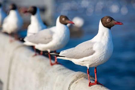 Four Seagulls standing at Sukta Bridge, Bangpu, Samut Prakan, Province, Thailand, Larus brunnicephalus, Close up shot, Select focus, Birds photography travel Stok Fotoğraf