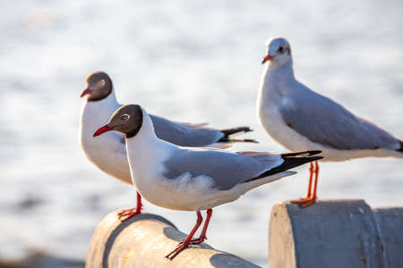 Three Seagulls standing at Bridge, Bangpu, Samut Prakan, Province, Thailand, Larus brunnicephalus, Close up shot, Select focus, Birds photography travel Zdjęcie Seryjne - 135923329