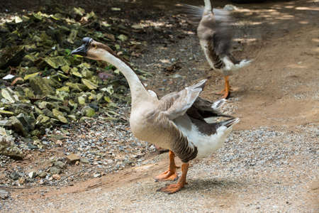 Geese are walking in farm 스톡 콘텐츠 - 129698501
