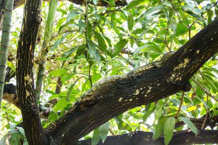 Water Monitor Lizard (Varanus salvator) on tree in thailand, asian