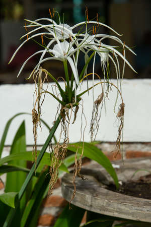 White beach spider lily flower in the garden, Close up & Macro shot, Selective focus Imagens
