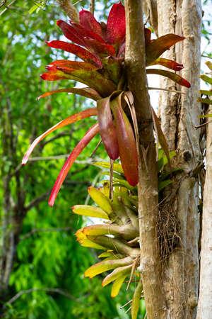 Bromeliad tree ( Aechmea fasciata, Guzmania, Urn Plant ) clinging on the tree, Abstract graphic design