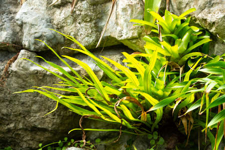 Bromeliad tree ( Aechmea fasciata, Guzmania, Urn Plant ) with fern clinging on the stone, Abstract graphic design 写真素材