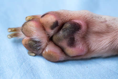 Jack Russell Terrier's has  bruise on foot, Blue sheet background, Close up & Macro shot, Selective focus, Dog body parts concept Stock Photo