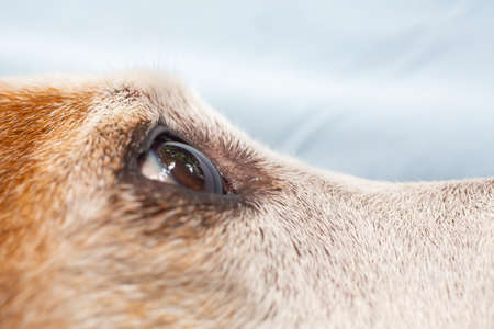 Jack Russell Terriers right eye looking for something, Close up & Macro shot, Selective focus, Dog body parts concept