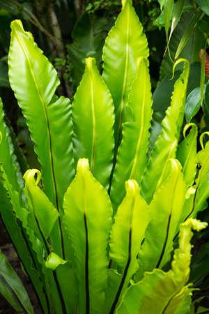 Green leaf texture background, Green leaf pattern, Bird's nest fern, Asplenium nidus