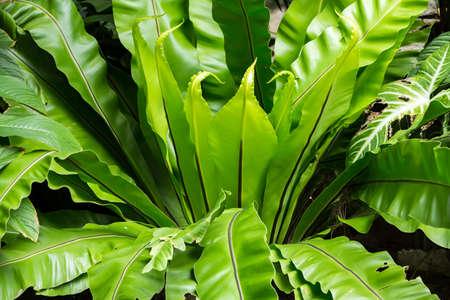 Green leaf texture background, Green leaf pattern, Bird's nest fern, Asplenium nidus Stock fotó