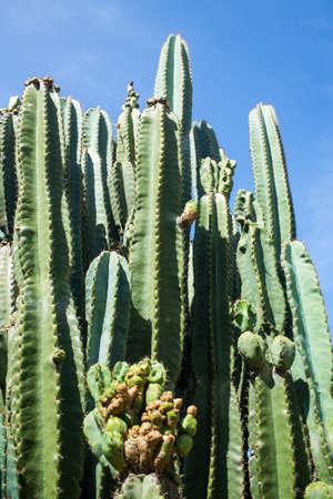 Cactus texture background, Close up