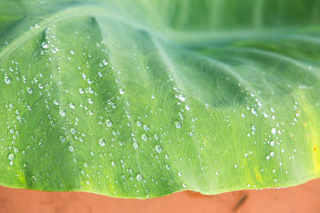 Green leaf with drops of water, Green leaf texture background, Colocasia antiquorum Schott leaf