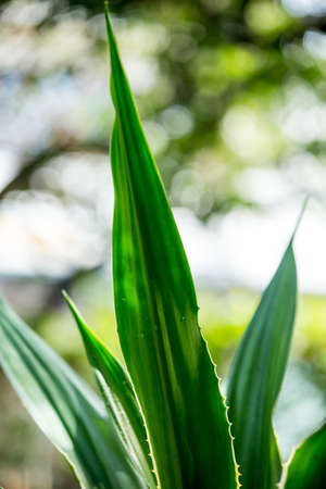 Agave americana, Green aloe with yellow stripes, leaves pattern 写真素材