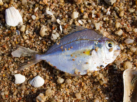 Dead fish on the beach, Close up and Macro shot, Sea environmental pollution concept