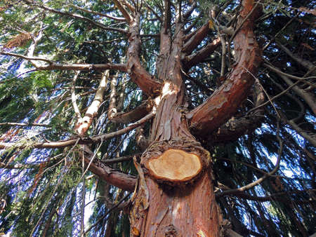 Underneath view of tree with peeling bark and limb removed.