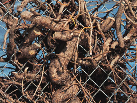 Cut branches remain entangled in a chain link fence.