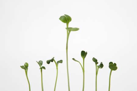 planta de frijol: Los brotes en el fondo blanco, símbolo de crecimiento