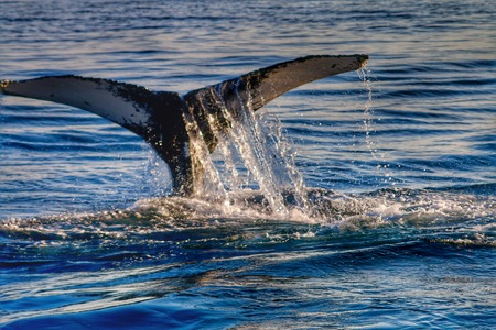 Whales tale flipping out of the Atlantic ocean