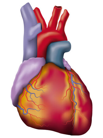 human body parts: Anatomic vector illustration of human heart Illustration