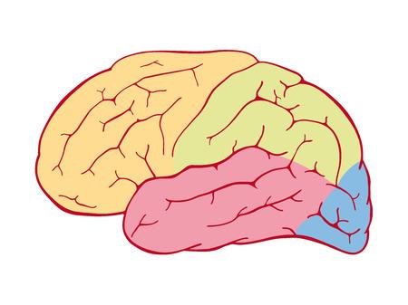 occipital: Areas of the human brain