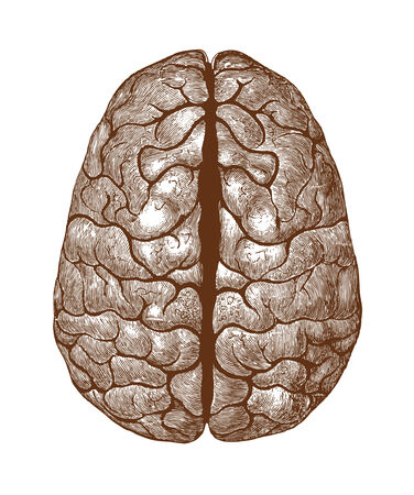 Human brain vintage illustration vector Vector