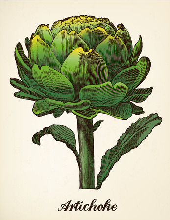 Artichoke vintage illustration vector Vector