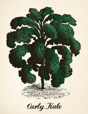 Curly kale vintage illustration vector
