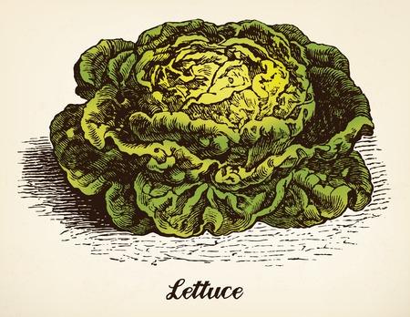 Lettuce vintage illustration vector Vector