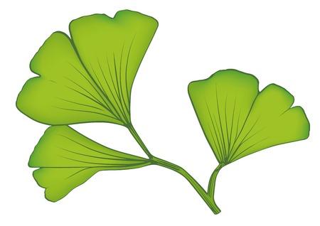 Vector illustration of gingko biloba leaves Ilustração