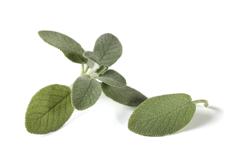 white salvia: salvia leaf and part of branch isolated on white