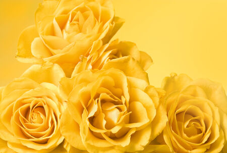 bunch of pastel yellow roses, yellow background