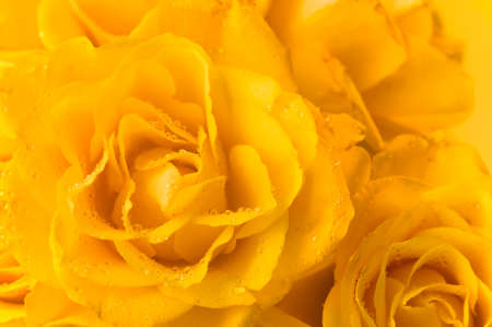 background  of yellow roses with droplets Stock Photo