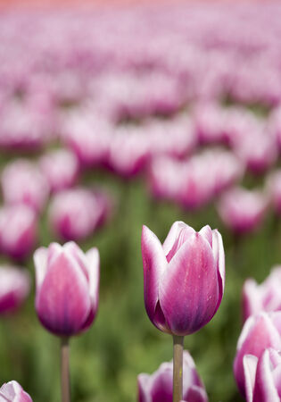 single flower in focus in front of endless purple tulip field Stock Photo - 29444278