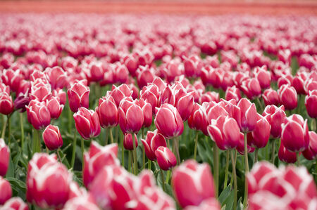 red-white tulips on an endless field Stock Photo - 29444284
