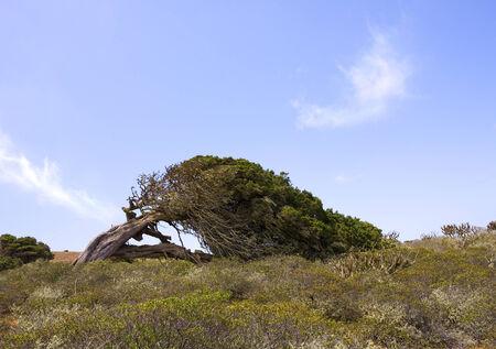gnarled: formado por el viento en El Sabinar, Isla de El Hierro, Islas Canarias y nudoso �rbol de enebro Foto de archivo
