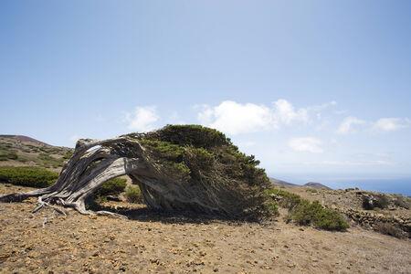 gnarled: gnarled juniper tree shaped by the wind, El Sabinal, Island of El Hierro