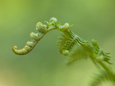 unwinding: close up of unwinding fern leaf Stock Photo