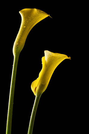 yello: two yello calla lilies with dew drops Stock Photo