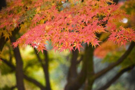 acer: acer palmerum - japanese fall foliage background