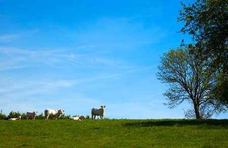 tortillera: grupo de vacas en dique normand�a Foto de archivo