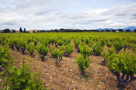 vineyards at Chateauneuf du Pape, Provence, France