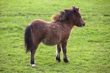 shetland pony: foal of miniature shetland pony on pasture