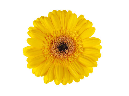 top view of yellow gerber daisy blossom isolated on white photo