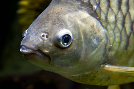sweetwater: face of a carp under water