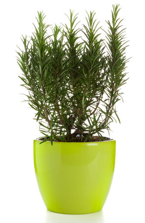 plant in pot: rosemary plant in green pot isolated Stock Photo