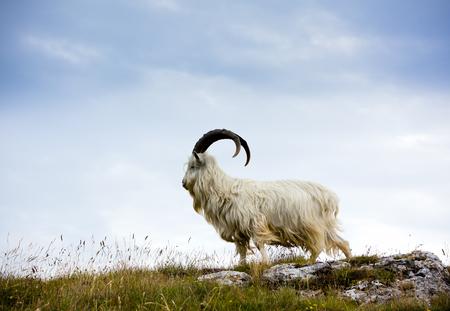 グレート オーム、北ウェールズでカシミヤ山羊