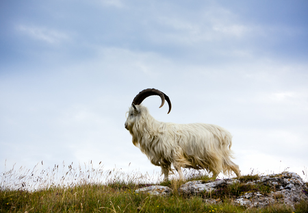mountain goat: Cashmere goat at Great Orme, North Wales